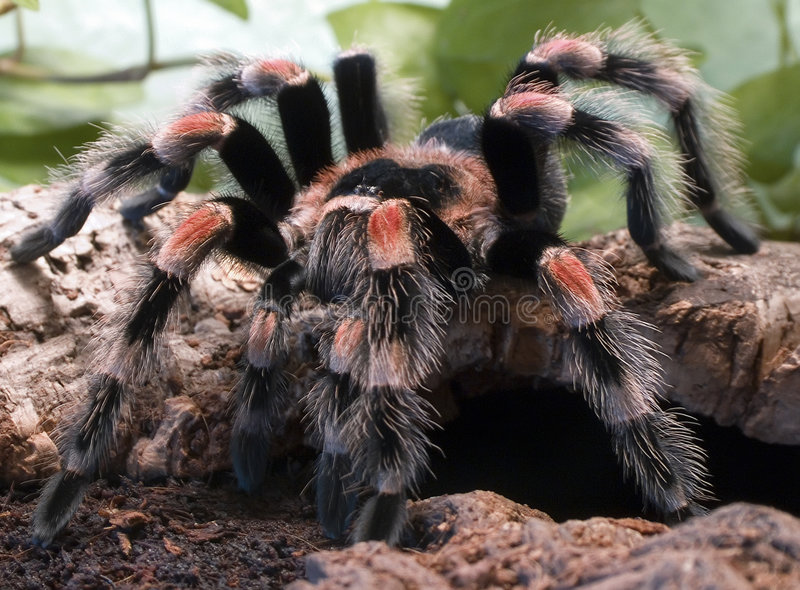Araña del Tarantula imagenes de archivo
