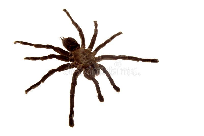 Araña del Tarantula imagen de archivo libre de regalías