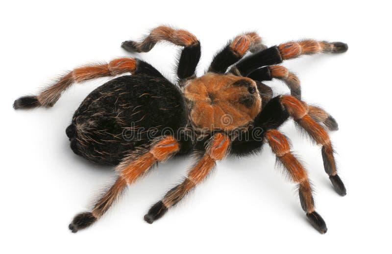 Araña del Tarantula, Brachypelma Boehmei foto de archivo