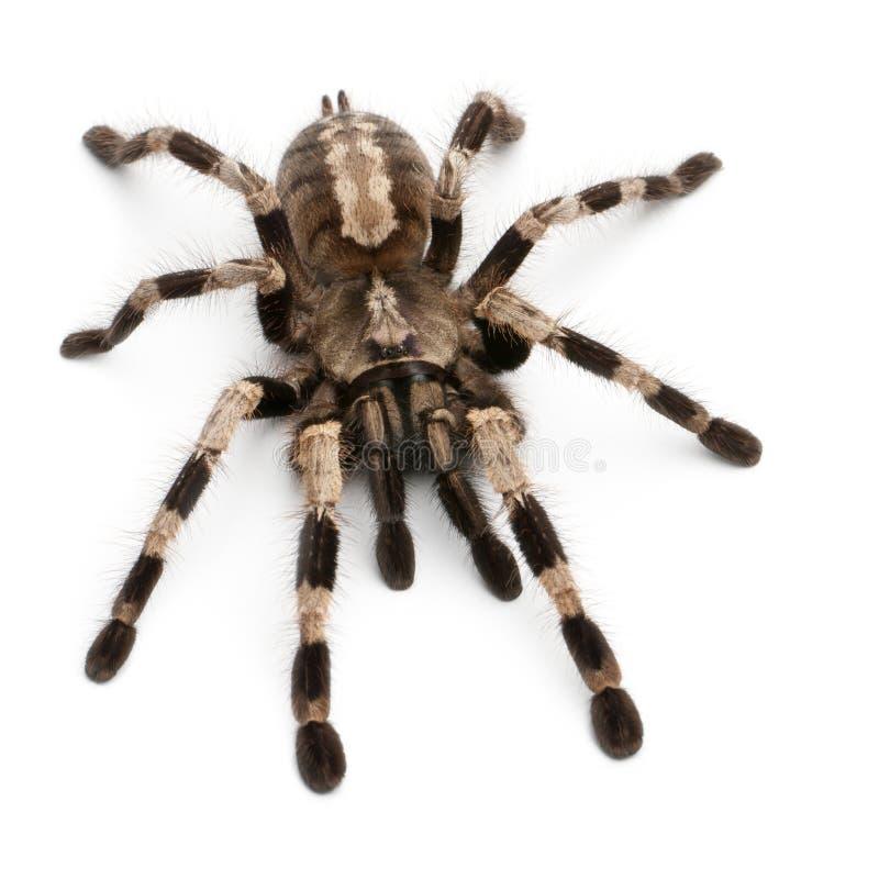Araña del Tarantula, Poecilotheria Miranda fotos de archivo