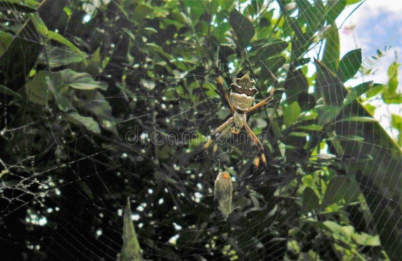 Araña del tigre que alimenta en una mariposa fotografía de archivo libre de regalías