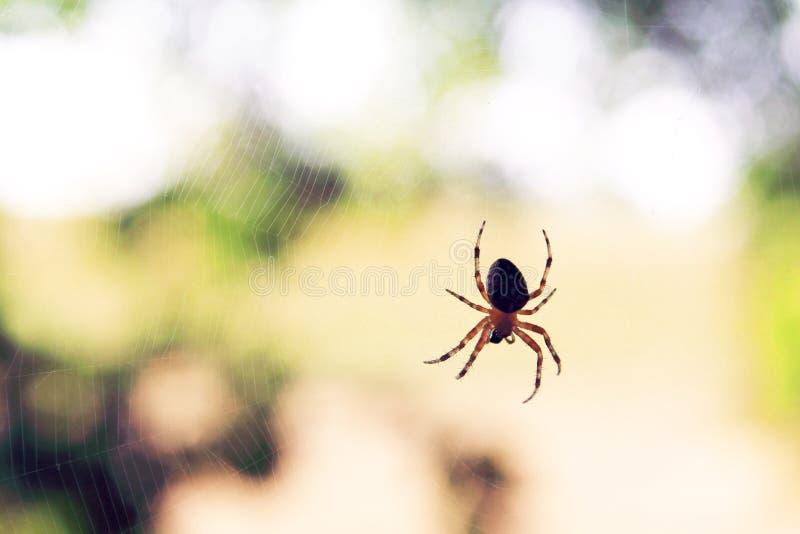 Ara?a depredadora sola en la web real imagen de archivo libre de regalías