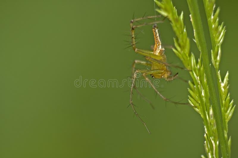 Araña E Hierba Imagen de archivo