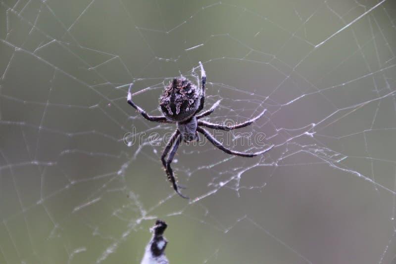 Araña en el bosque de Pilliga fotos de archivo libres de regalías