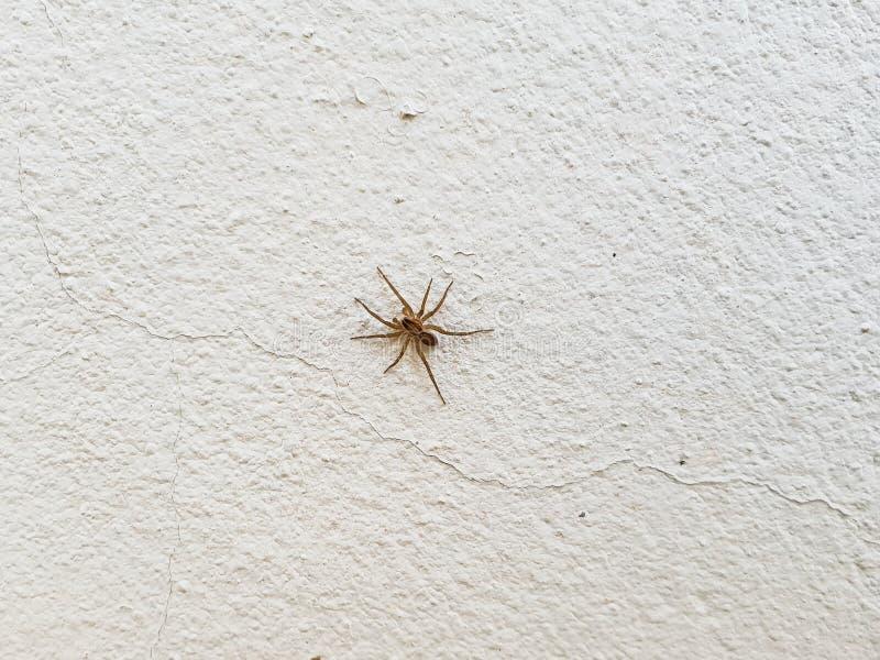 Araña en la pared blanca Cierre común animal de la casa de la araña de ocho piernas encima del insecto simple en hogar imagenes de archivo