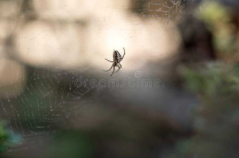 Araña en la web con las gotitas de agua en fondo del verdor y bokeh borrosos del sol poniente foto de archivo
