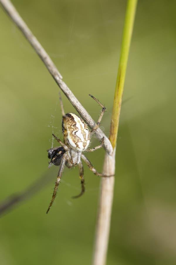 Araña en la web que protege su comida con la red foto de archivo