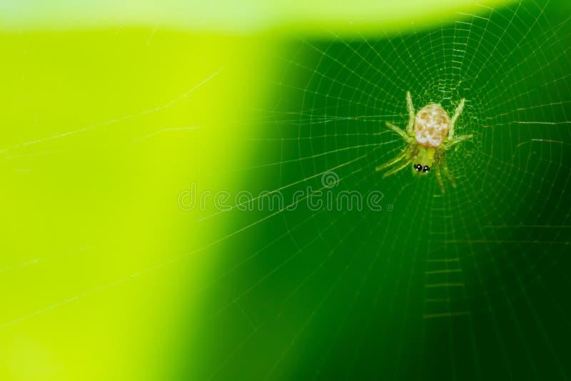 Araña en la web y el fondo verde, animales en salvaje imagen de archivo libre de regalías