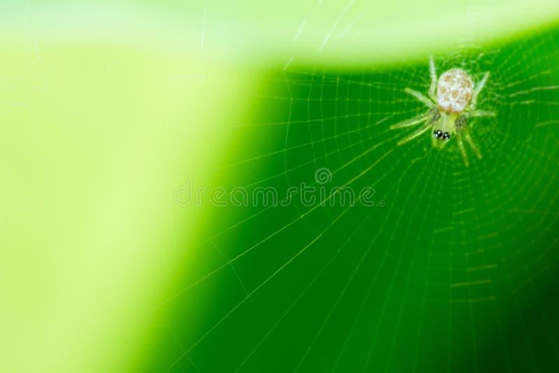 Araña en la web y el fondo verde, insecto macro foto de archivo