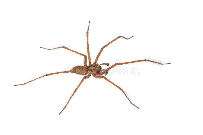 Araña en un fondo blanco imágenes de archivo libres de regalías