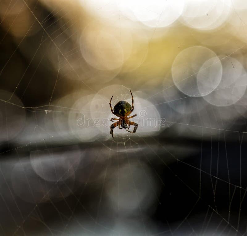 Download Araña en un Web imagen de archivo. Imagen de bosque, verano - 42428921