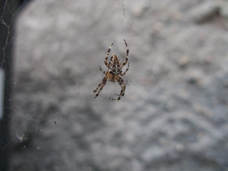 Araña en un web de telarañas imagen de archivo libre de regalías