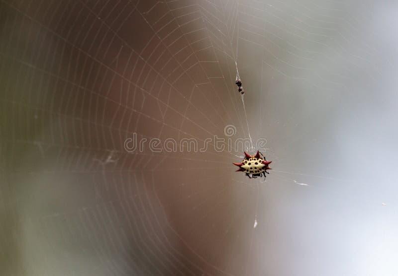 Araña espinosa roja, blanca y negra femenina Gasteracanth del tejedor del orbe fotos de archivo