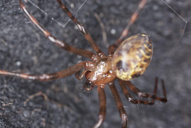 Araña europea de la cueva (menardi de la meta) fotos de archivo
