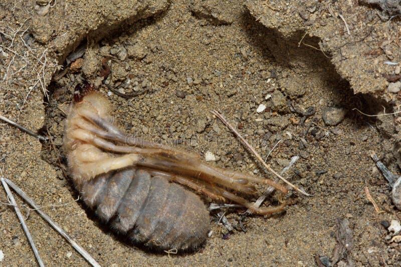 Araña femenina del camello (solifuge) en madriguera foto de archivo