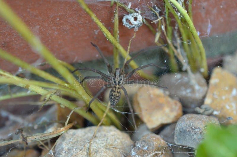 Araña gigante BRITÁNICA de la casa afuera fotografía de archivo