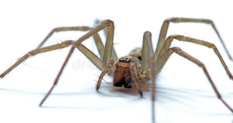 Araña gigante de la casa foto de archivo