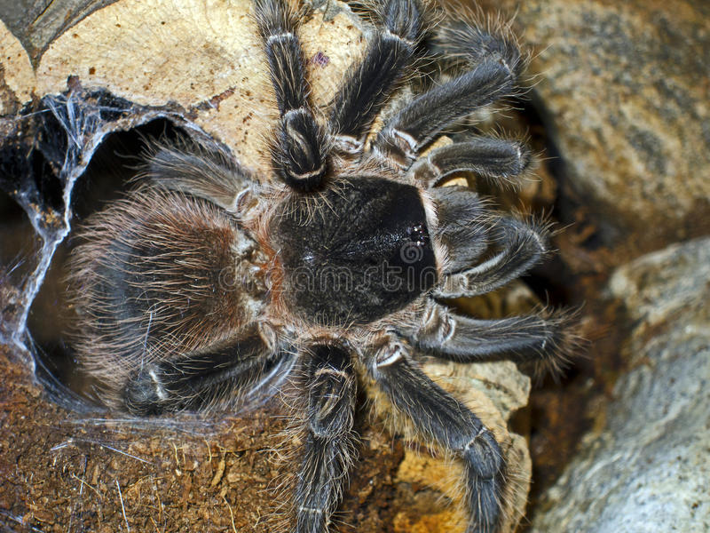 Araña gigante Lasiodora Parahybana imágenes de archivo libres de regalías