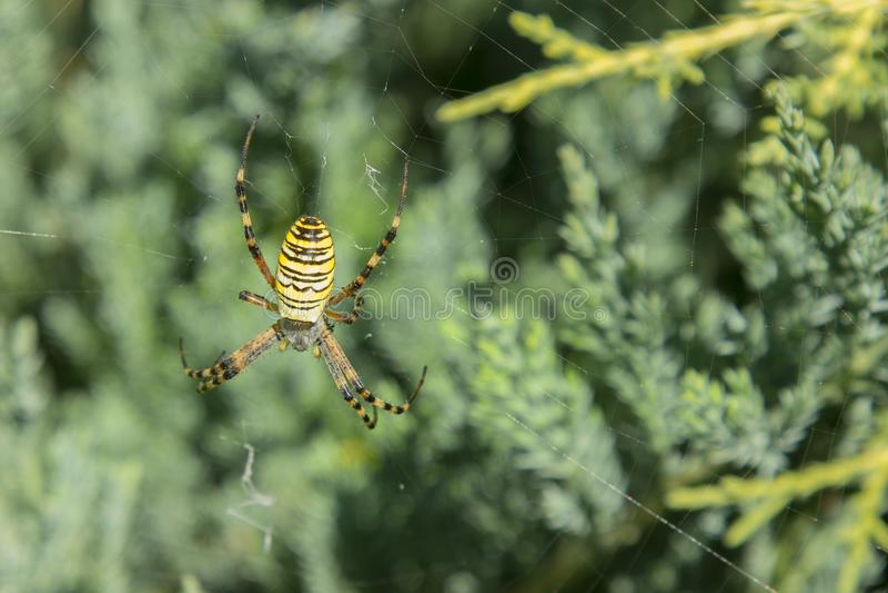 Araña grande Aurantia gordo negro y amarillo común del Argiope del maíz o de la araña de jardín en su web que espera su cierre de foto de archivo libre de regalías