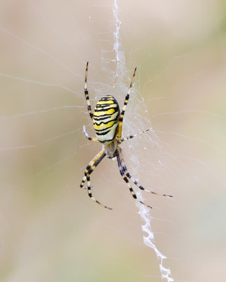 Araña grande de la avispa en su web en un fondo ligero foto de archivo libre de regalías