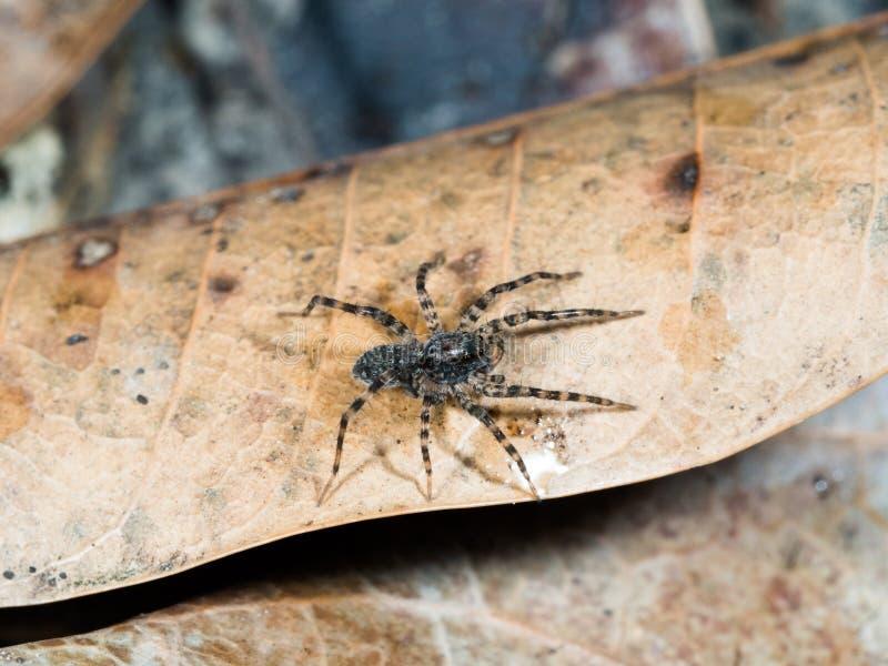 Araña larga de la pierna que camina en la hoja seca en jardín en verano imágenes de archivo libres de regalías