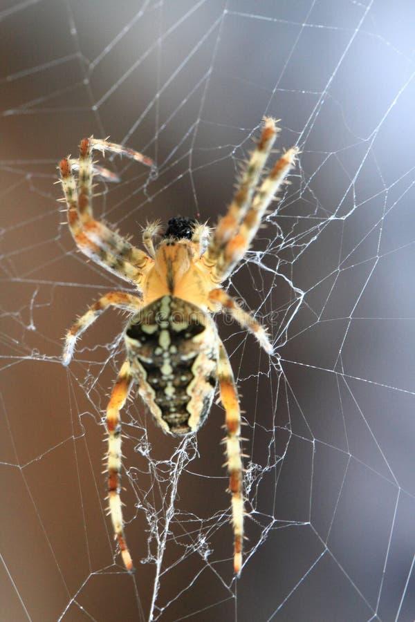 araña marrón en el web foto de archivo