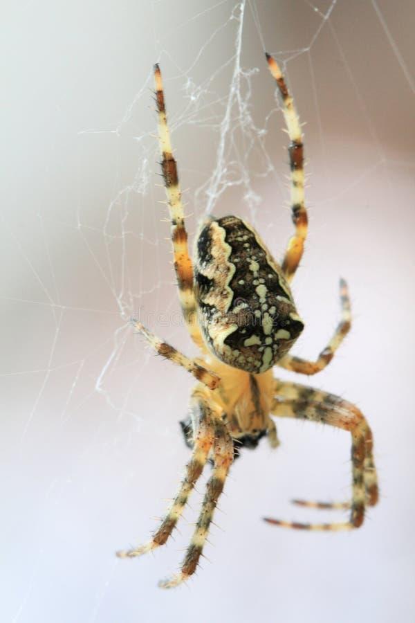 araña marrón en el web fotos de archivo libres de regalías