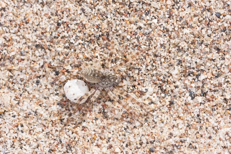 Araña marrón grande en la arena con su huevo fotografía de archivo libre de regalías