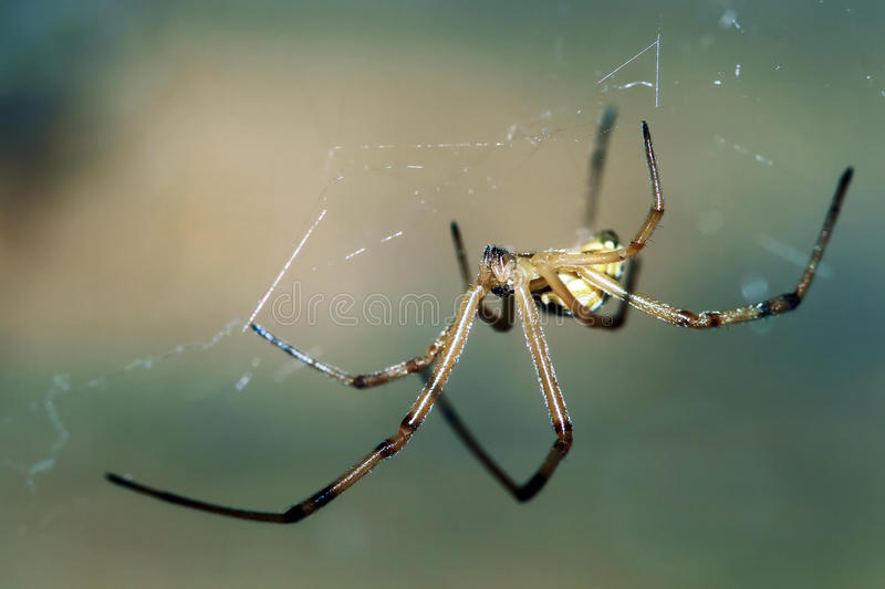 Araña masculina de la viuda negra foto de archivo libre de regalías