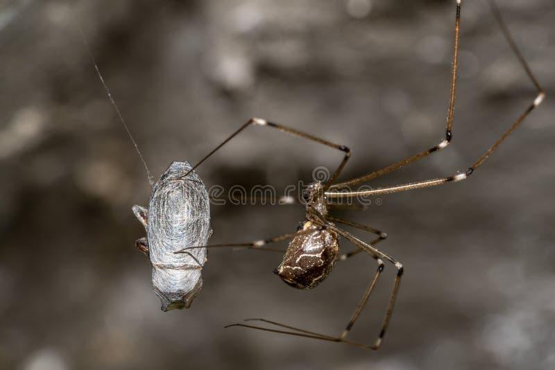 Ara?a mientras que hace el capullo en una mosca atrapada en la web imágenes de archivo libres de regalías