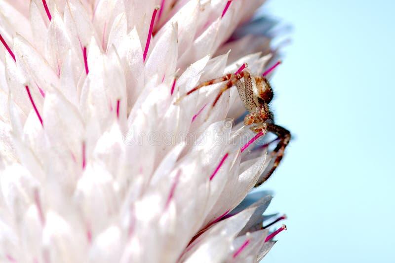 Araña minúscula en el cierre de Pampa Plume Celosia Mix para arriba foto de archivo libre de regalías