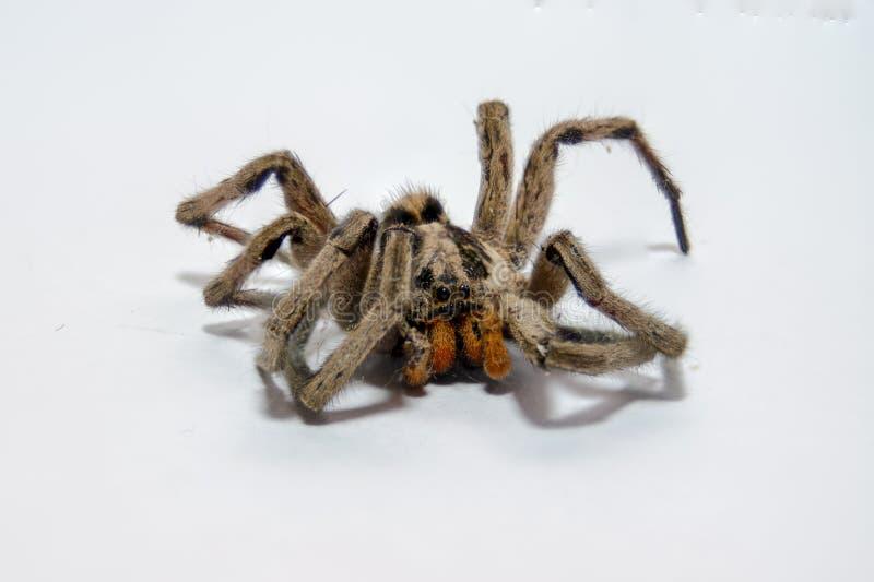 Araña muerta imagen de archivo