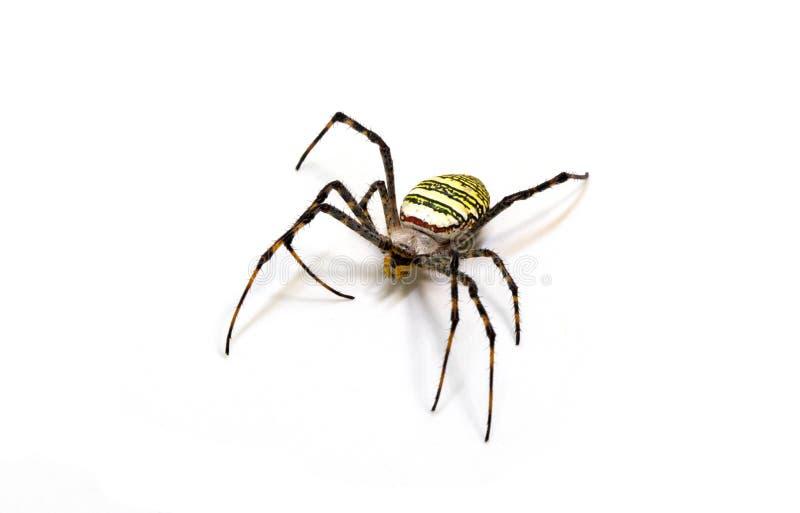 Araña negra amarilla en el fondo blanco Foto tropical del primer de la araña del cangrejo del insecto Macrophoto detallado de la  imagenes de archivo