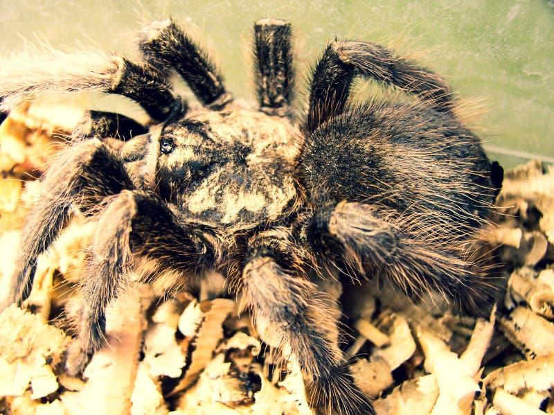 Araña negra peligrosa depredadora melenuda fotos de archivo