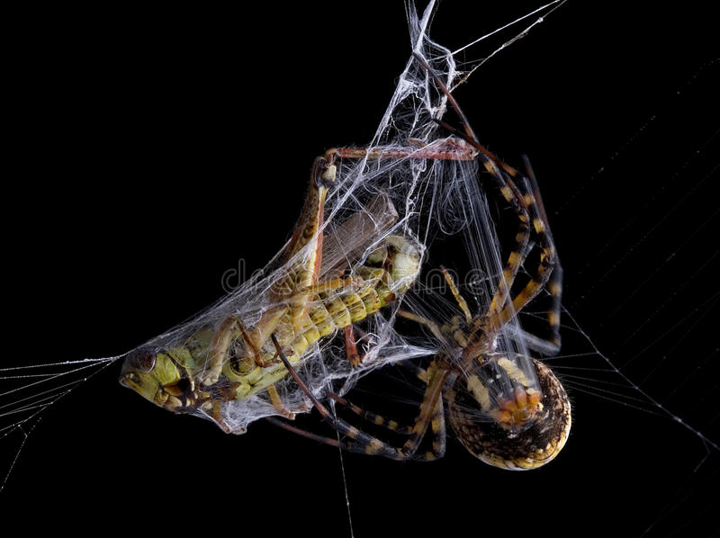 Araña que envuelve la tolva en la noche foto de archivo