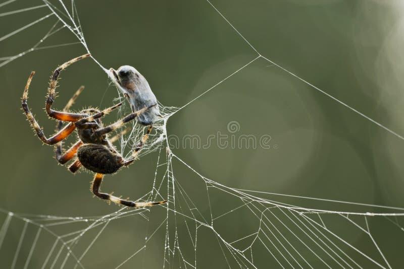 Araña que envuelve su presa fotografía de archivo libre de regalías