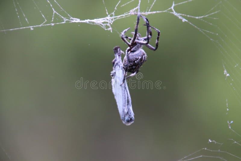 Araña que envuelve una mariposa fotografía de archivo