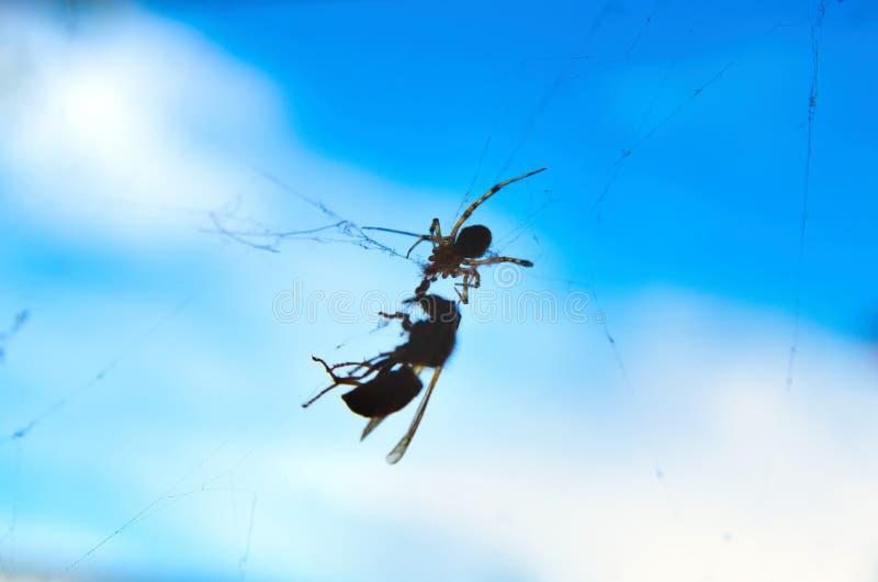 Araña que lucha la avispa imágenes de archivo libres de regalías