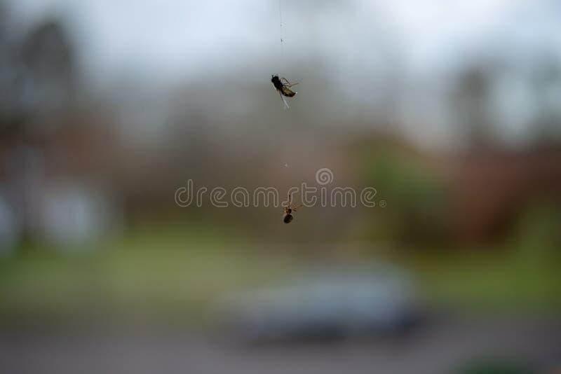 Araña que persigue la mosca detrás de una ventana imágenes de archivo libres de regalías