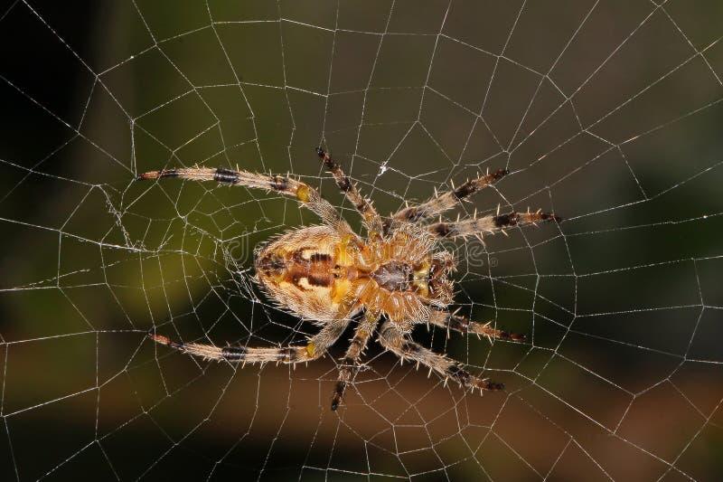 Araña que se sienta en su web imagen de archivo