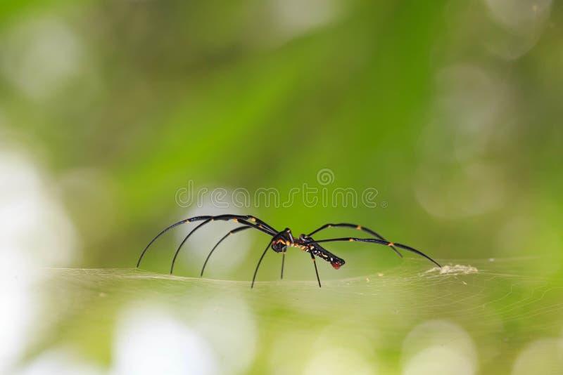 Araña que teje del orbe de seda de oro que espera en su web fotografía de archivo libre de regalías