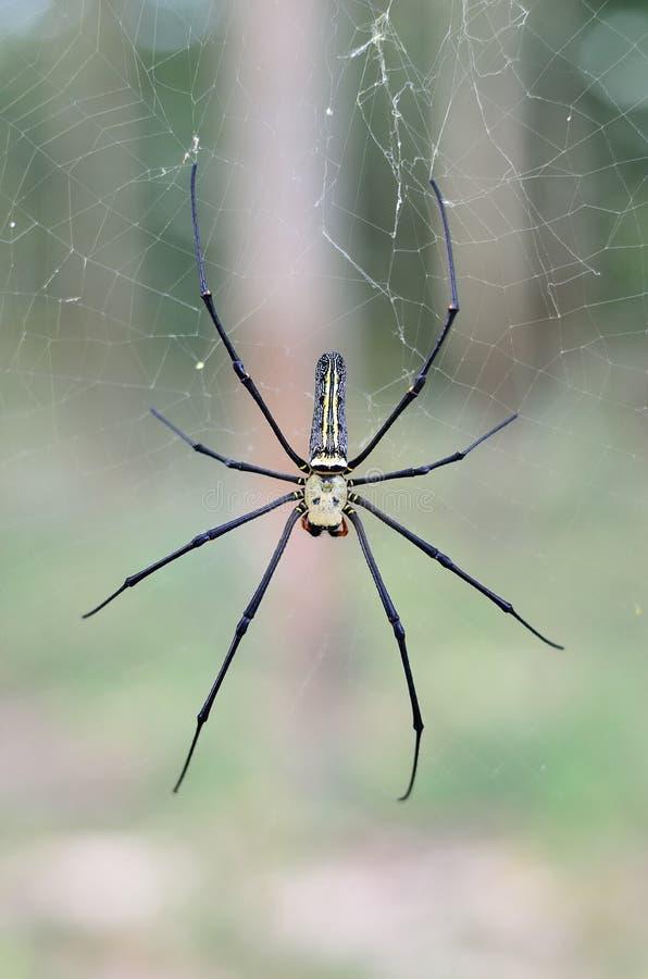 Araña que teje del orbe de seda de oro que espera en su web fotos de archivo
