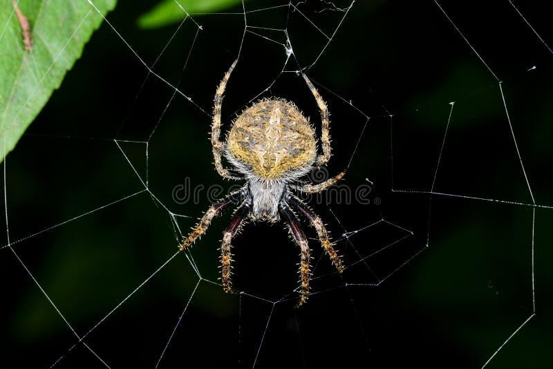 Araña, ranomafana, Madagascar foto de archivo