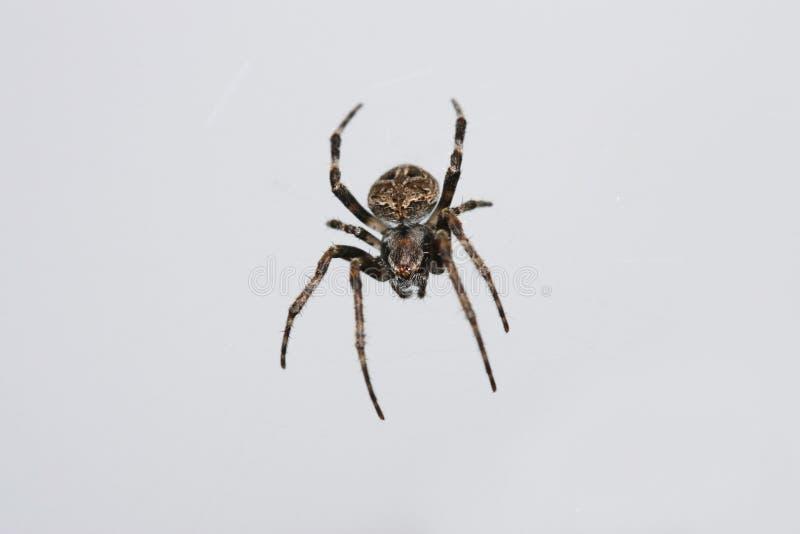 Araña tailandesa imagen de archivo libre de regalías