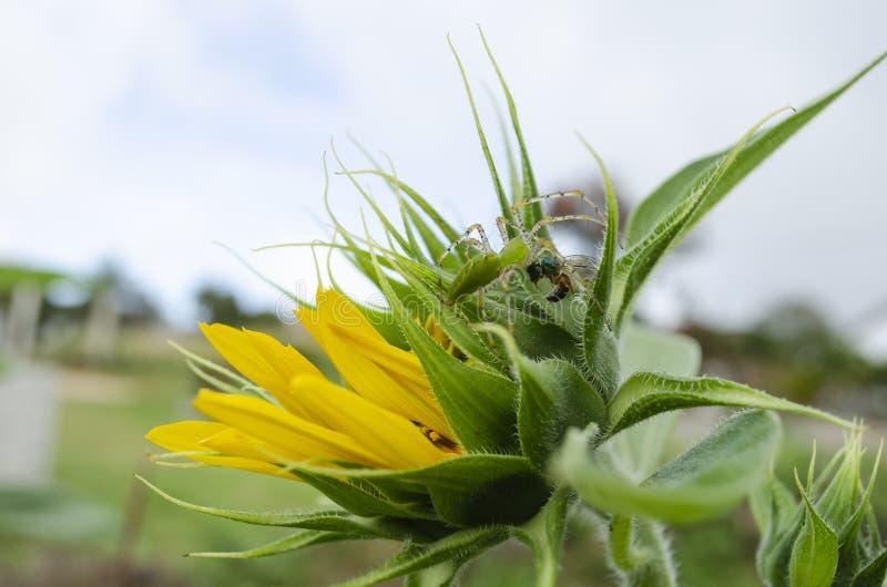Araña verde del lince que detiene a Emerald Green Golden Bee fotos de archivo libres de regalías
