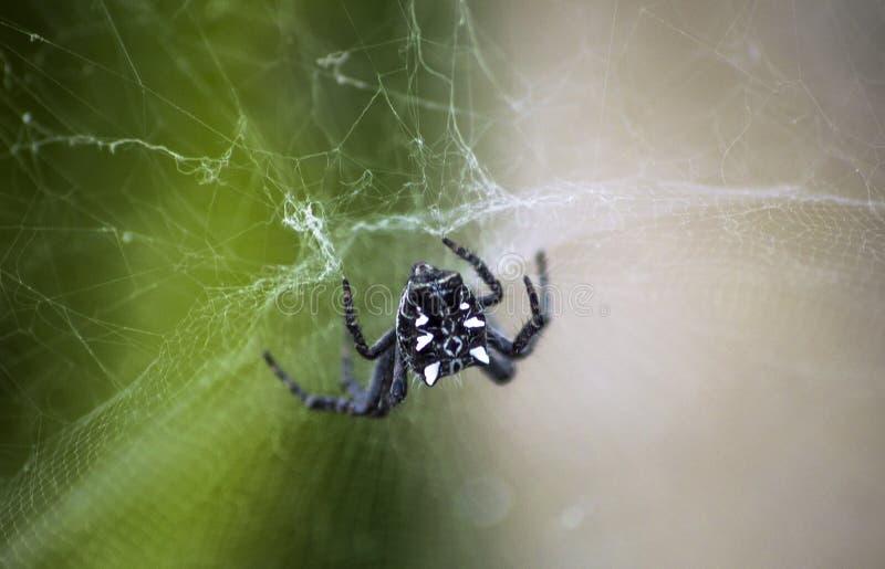 Araña Webby del cactus fotos de archivo