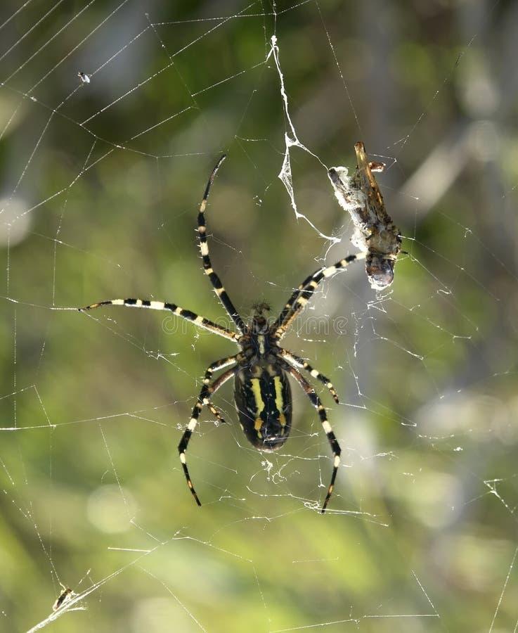 Araña y presa de la avispa imágenes de archivo libres de regalías