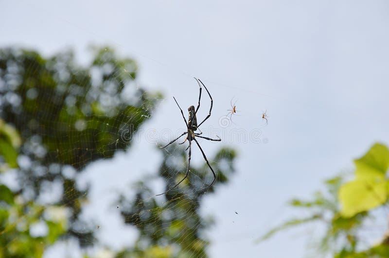 Araña y sus bebés en el web imagenes de archivo