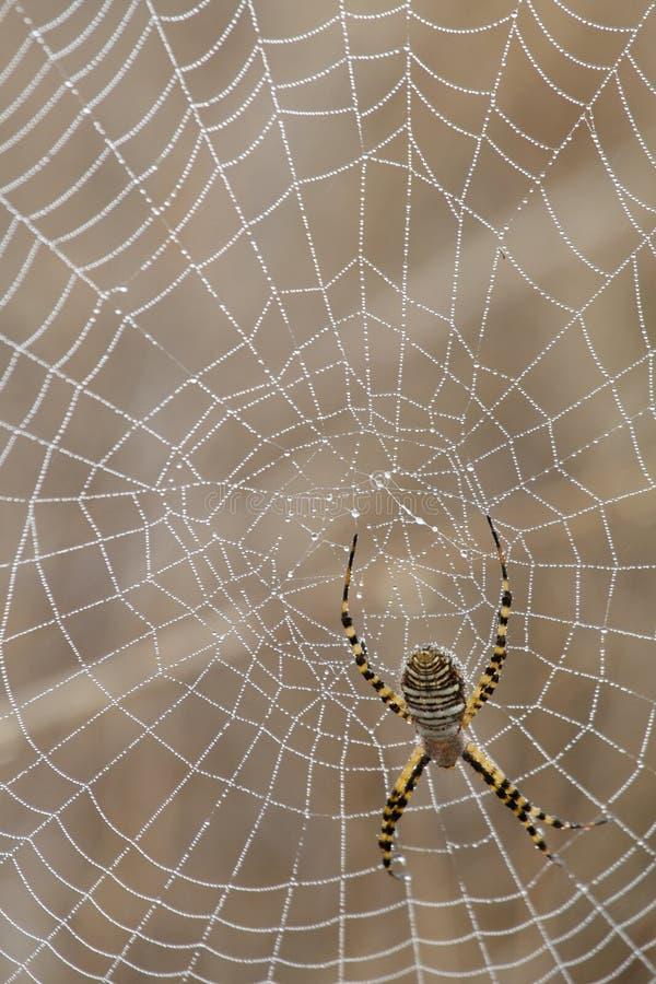 Araña y Web de araña imagen de archivo