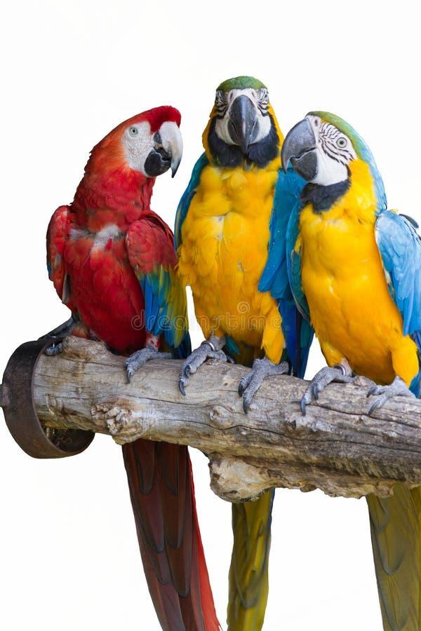 Ara在它的栖息处的ararauna鹦鹉 免版税图库摄影